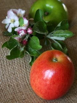 Red or Green: Apples are a healthy and delicious treat. © Betty Shepherd