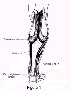 Figure 1: The gastrocnemius and soleus muscles unite to form the thick Achilles tendon.
