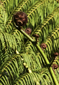 Koru © Betty Shepherd