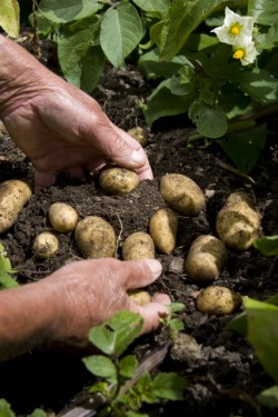 Digging into the potato's nutritional values. © Betty Shepherd