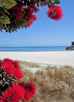The beautiful evergreen Pohutukawa, as New Zealanders call their Christmas tree, shows its glorious bright red blossoms during the holidays. ©Betty Shepherd