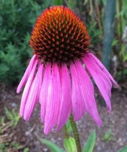 Echinacea purpurea. ©Uta Pippig