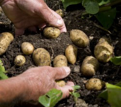 Nutrition: Some Spuds are Healthy Studs…Potatoes
